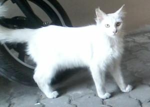 kucing mueeza